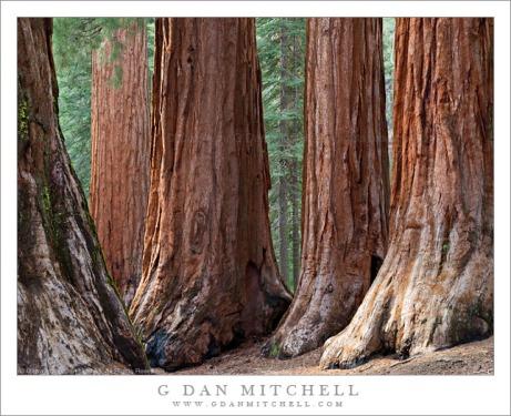 fivesequoiasmariposagrove20090607