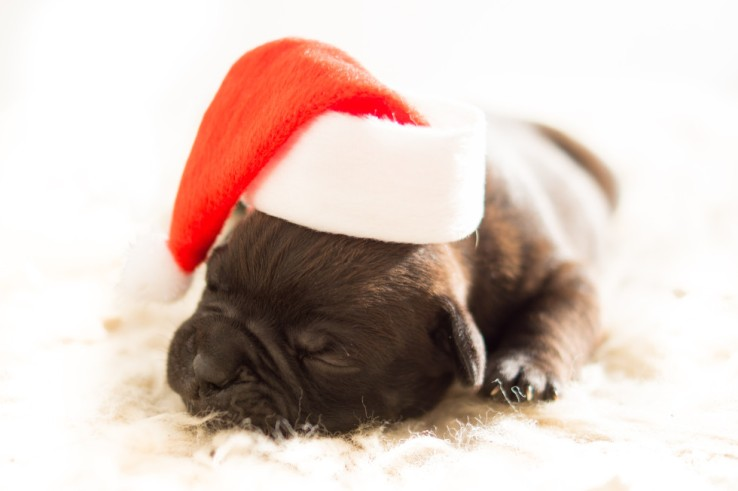 puppy-christmas-free-license-cc0-980x652