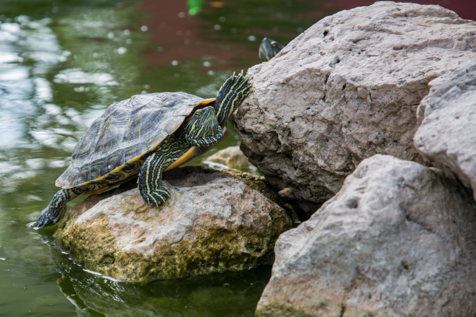 Turtle-980x653Skitterphotocom